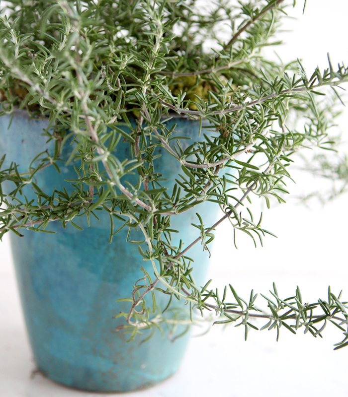 shiny cliping rosemary